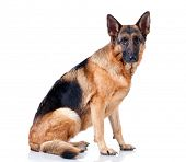 stock photo of shepherd dog  - German Shepherd lying in front - JPG