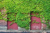 foto of english ivy  - Boarded Windows with Ivy - JPG