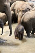 Indian elephants with a baby in a river, Pinnawela elephant orphanage, Sri Lanka