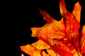 foto of maple tree  - Fall or autumn maple tree leaves on a black background - JPG