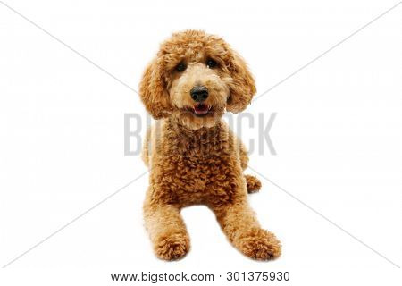 poster of golden doodle dog. isolated on white. room for text. golden retriever and poodle mix dog.