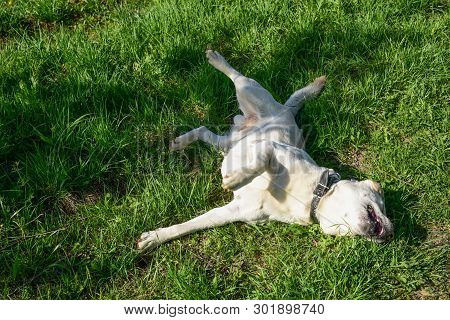 poster of Golden Labrador Lying On The Green Grass In The Park. Dog Relaxes On Nature. Family Vacation. The Go