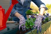 Gardeners Hands Planting Flowers In Pot With Dirt Or Soil In Container On Terrace Balcony Garden. Ga poster