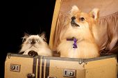 picture of cute puppy  - close up of pomeranian puppy dog and himalayan persian kitten in old fashioned suitcase against black background - JPG