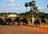 Boy Herding Buffaloes, Cambodia