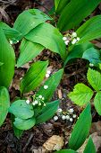 Lily Of The Valley In The Forest. Closeup Of Lily Of The Valley In The Forest poster