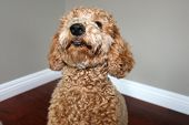 Golden doodle dog. Beautiful Golden Doodle Dog portrait. Family pet.    poster