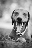 Yawning Dachshund
