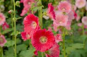Red Hollyhock Blossoming