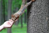 Squirrel Takes A Nut Out Of A Human Hand. Feeding Wild Animals In A Summer Park, Hungry Squirrel On  poster