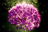 Macro Photo Of Alium Flowers. Close Up Flower Head With Dandelion Structure Wit Water Drops. Macro.  poster