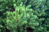 The Branches Of Spruce Or Pine Close-up. Evergreen Tree. poster