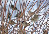 Flock Of Sparrows Sitting On Bush