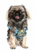 Pekinese In Dress