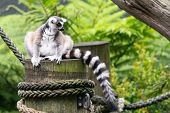 Ring-tailed Lemur With View Of His Beautiful Black And White Striped Tail On A Pole With Green Backg poster