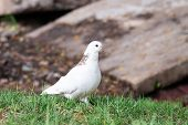 White Dove On The Grass poster
