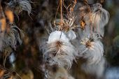 Fluffy Dandelion. Macro Photo Nature Plant Fluffy Dandelion. Blooming White Dandelion Flower On The  poster