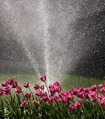 Tulips Watered