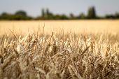 Ripe Wheat Ears In A Field. Wheat Field. Background Of Ripening Ears Of Meadow Wheat Field. poster