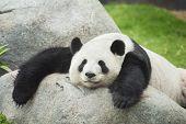 Giant Panda Bear Sleeping On Rock In Zoo poster