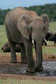 Постер, плакат: Африканский слон и Буффало