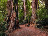 Walking Among The Tall Coastal Redwood Trees poster