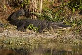 Alligator Sunbathing