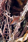 picture of hawkfish  - Longnose hawkfish taken  in de Red Sea - JPG