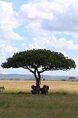 Elephant Family Under Umbrella Acacia