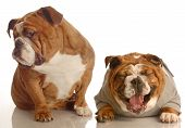 Annoyed Bulldog With Another Bulldog Laughing