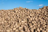 Closeup Of A Heap Of Sugar Beets Against The Blue Sky