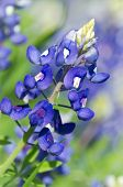 stock photo of bluebonnets  - Closeup of Texas bluebonnet  - JPG