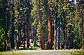 Famous Big Sequoia Trees Are Standing In Sequoia National Park