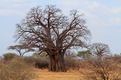 African Baobab Tree (adansonia Digitata)
