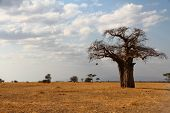 Lone Baobab On The African Savannah