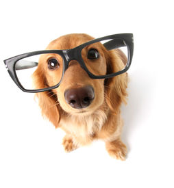 stock photo of distort  - Funny little dachshund wearing glasses distorted by wide angle closeup - JPG