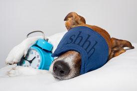 stock photo of shhh  - Dog sleeping with alarm clock and sleeping mask - JPG