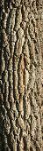 Textured Deciduous Tree Bark