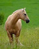 Beautiful Pale Brown Horse