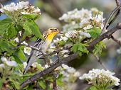 Blackburnian Warbler And Apple Blossoms
