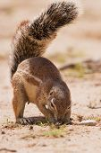 Ground Squirrel Eating Grass Roots In The Hot Kalahari