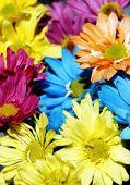 Daisy Multicolor Background #2