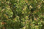 Pistachios Tree
