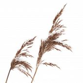 Macro Photo Of Dry Coastal Reed Cowered With Snow Isolated On White