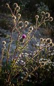 Burdock With Evening Sun Back-lit