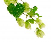 Hop Plant Natural Beer Ingredient Isolated White