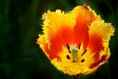 Interesting Tulip
