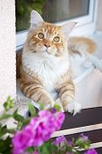 picture of coon dog  - Maine Coon Kitten on the balcony window - JPG