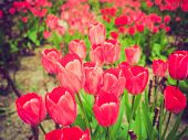 stock photo of angiosperms  - Vintage looking Tulips flower (plantae angiosperms monocots liliales liliaceae lilioideae tulipa)