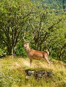 foto of cervus elaphus  - Majestic European Red deer  - JPG